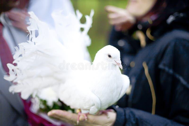 heiratende weiße Taube sitzt auf der Hand stockfotografie