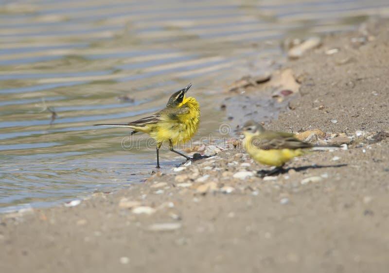 Heiratverhalten von Vögeln stockbild