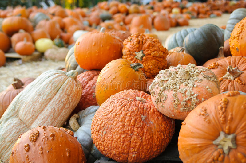 Heirloom Orange Pumpkins and Gourds. A selection of orange and green heirloom pumpkins and gourds in the fall royalty free stock photography