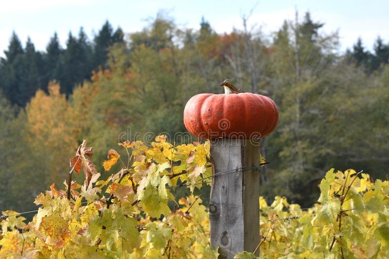 Autumn Harvest Heirloom Pumpkin on a fence post, Washington State, USA royalty free stock image