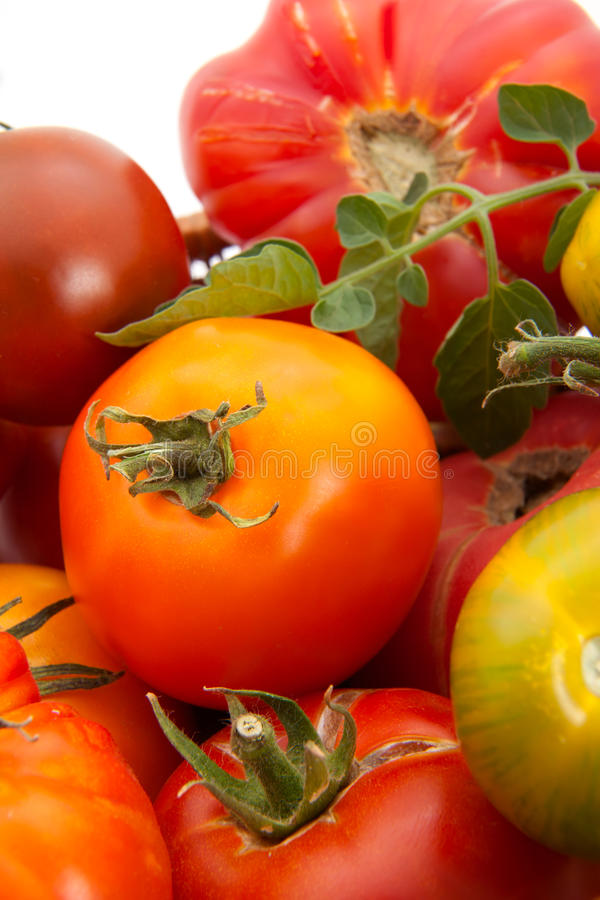 Heirloom tomatoes. Full basket of homegrown organic heirloom tomatoes during harvest time royalty free stock images