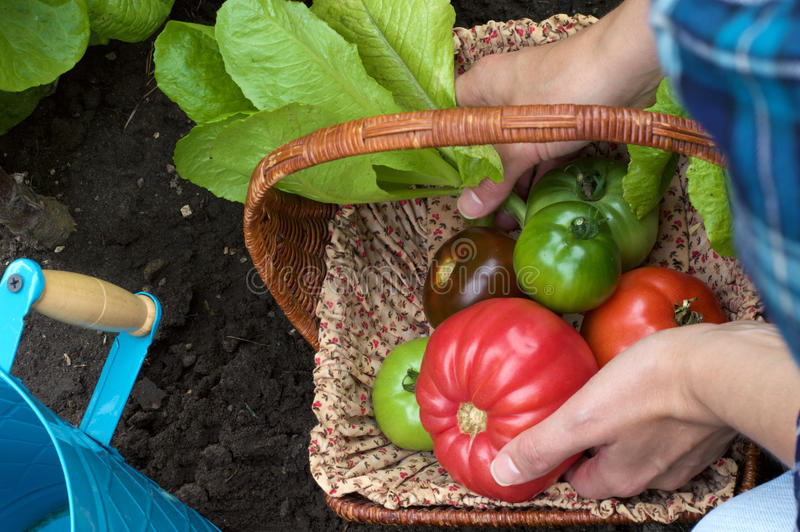 Heirloom Tomatoes in a Basket royalty free stock photography