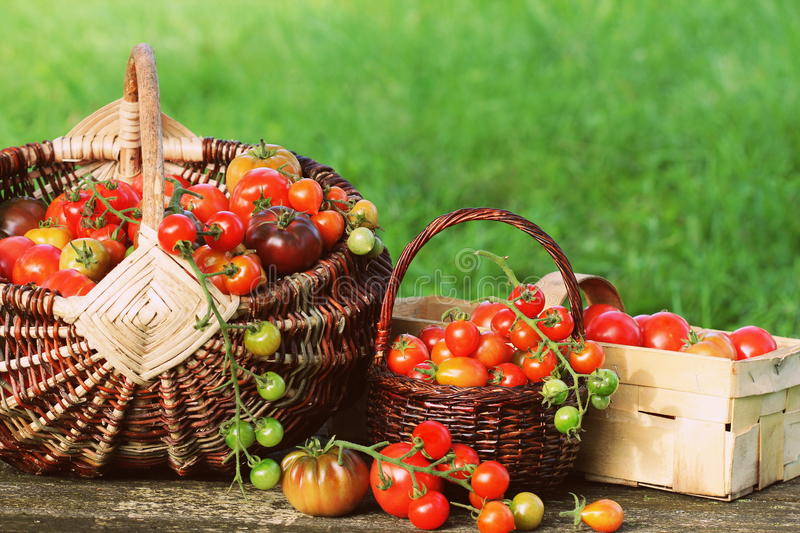 Heirloom variety tomatoes in baskets on rustic table. Colorful tomato - red,yellow , orange. Harvest vegetable cooking conception.  stock image