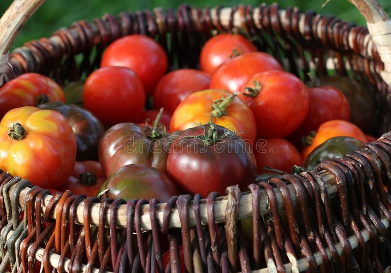 Heirloom variety tomatoes in baskets on rustic table. Colorful tomato - red,yellow , orange. Harvest vegetable cooking. Conception. Full basket of tometoes royalty free stock photo