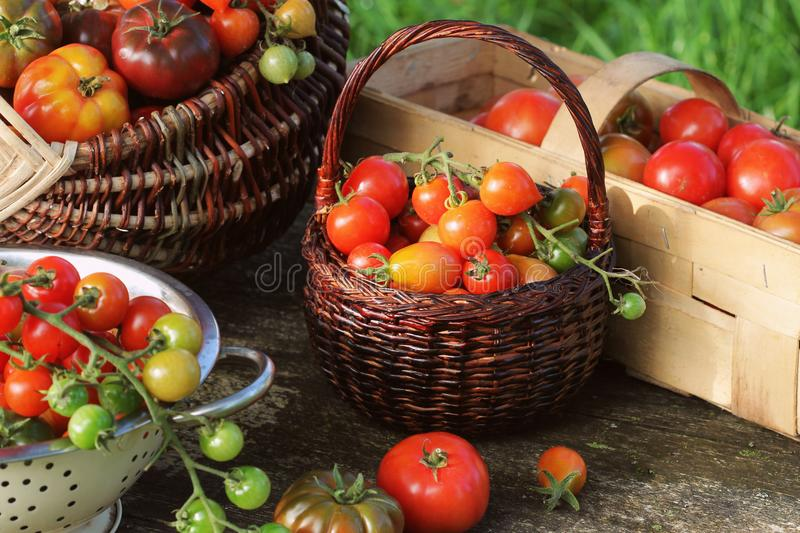 Heirloom variety tomatoes in baskets on rustic table. Colorful tomato - red,yellow , orange. Harvest vegetable cooking. Conception. Full baskets of tometoes in stock photo