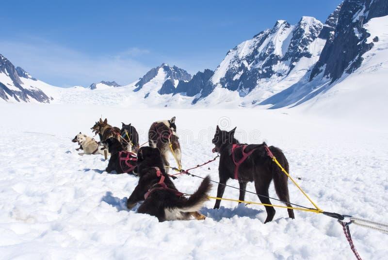 Heisere Hunde, die nach einem Rennen sich entspannen stockbilder