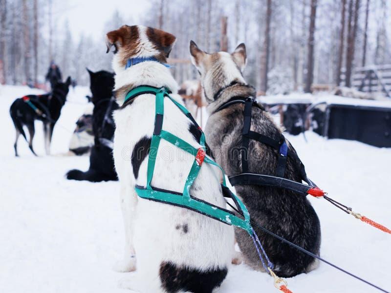 Heisere Hunde im Schlitten, der eine kurze Pause vor folgender Fahrt habend an Rovaniemi-Bauernhof, Lappland, Finnland sich entsp lizenzfreie stockbilder
