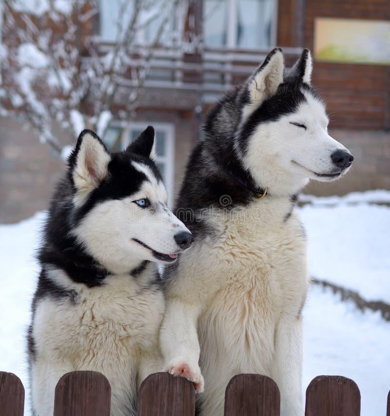 Heisere Hunde im Winter lizenzfreie stockfotografie