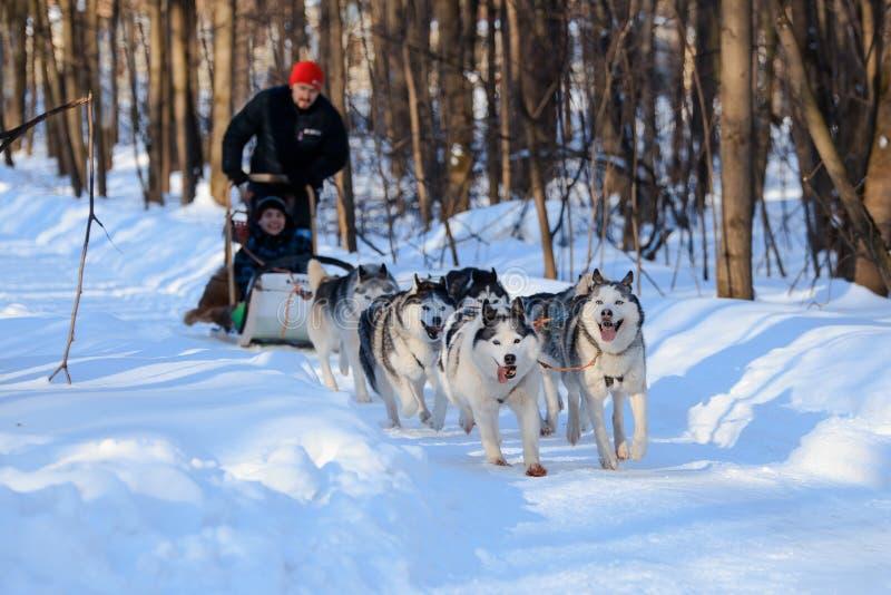 Heisere Hunde ziehen Schlitten am sonnigen Winterwald lizenzfreies stockfoto