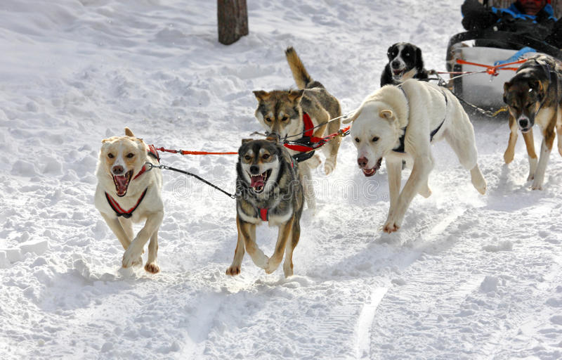 Heisere Schlittenhunde lizenzfreie stockfotos