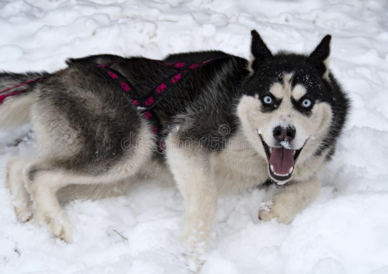 Heisere Schlittenhunde der Zucht stockfotos