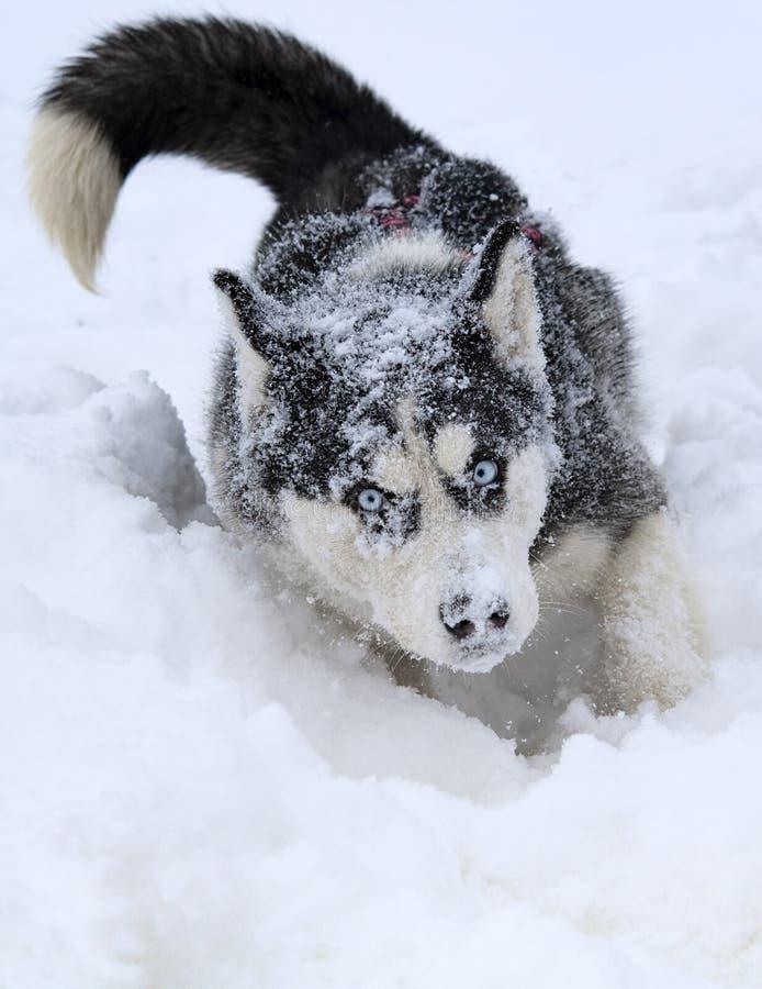 Heisere Schlittenhunde der Zucht lizenzfreie stockbilder