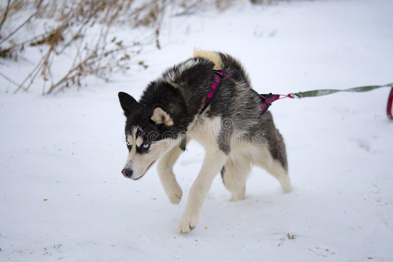 Heisere Schlittenhunde der Zucht lizenzfreies stockfoto