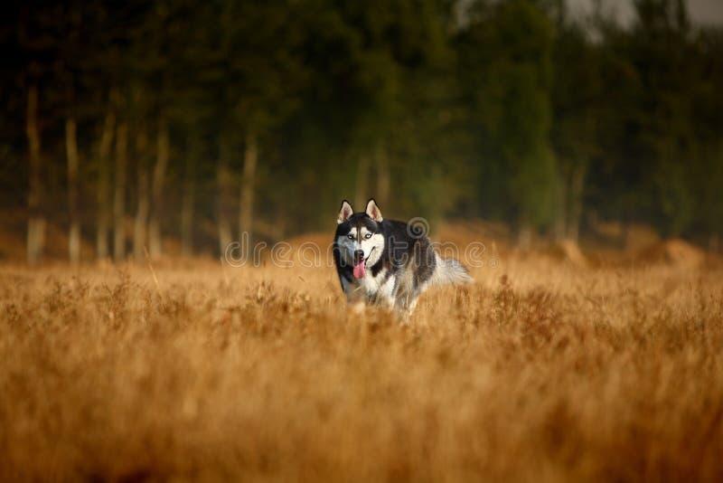 Heiserer Hund lizenzfreies stockbild
