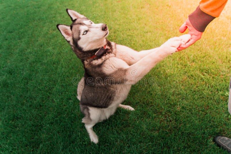 Heiserer Hund, der auf 2 Fuß Mann ` s Hand halten steht Freundliches Hundeli stockbilder