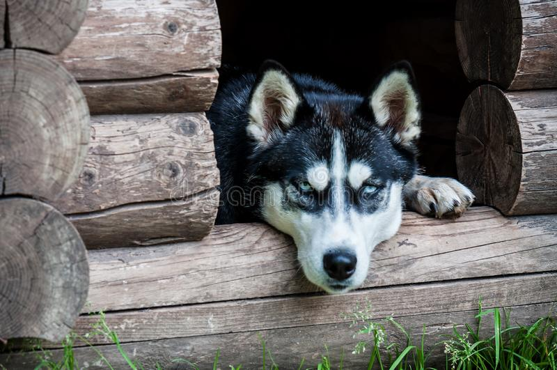 Heiserer Hund in der Hundehütte stockfotografie