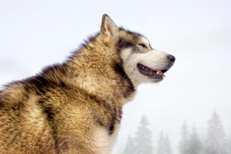 Heiserer Hund, der wie ein Wolf im Winter aussieht stockfotos