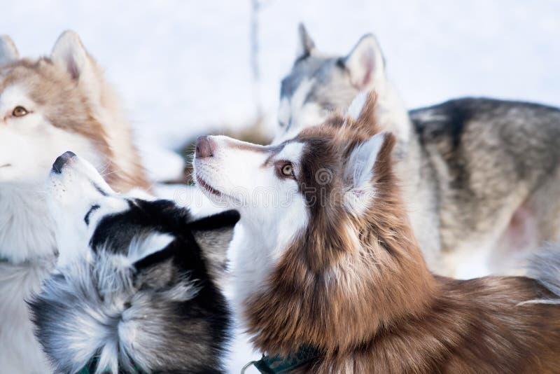 Heiserer Hund im Winter Nettes Haustier, freundlich stockfotografie