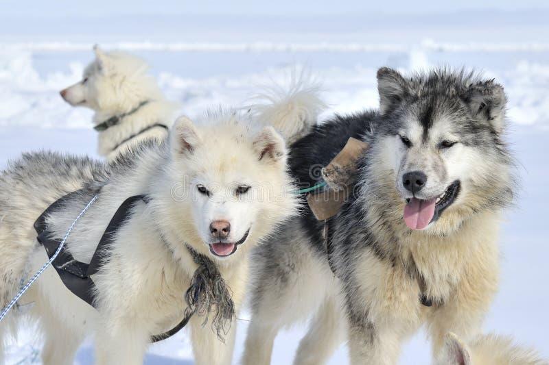 Heiserer Schlittenhund auf Treibeis lizenzfreie stockfotografie
