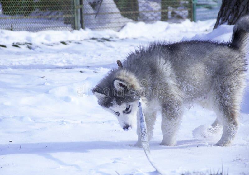 Heiserer Welpe, Grau, SIBIRIER, Spiel, Hund, blaue Augen, flaumig lizenzfreies stockfoto