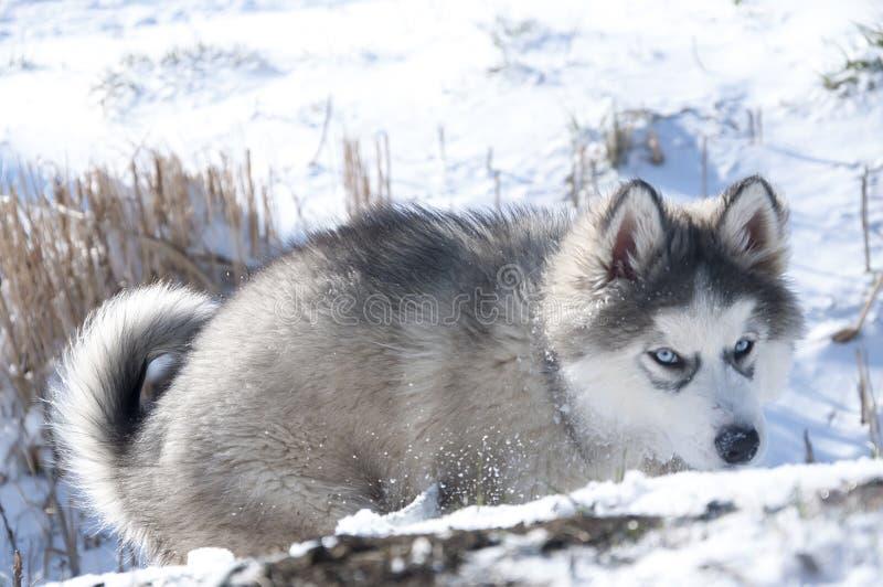 Heiserer Welpe, Grau, SIBIRIER, Spiel, Hund, blaue Augen, flaumig stockfotografie