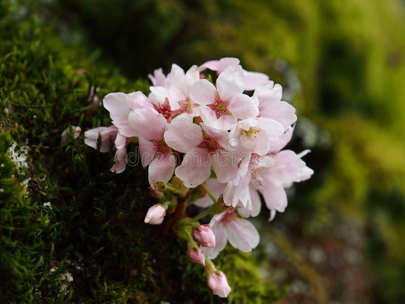 Heitre Blüte auf immergrünem Moos stockfotografie