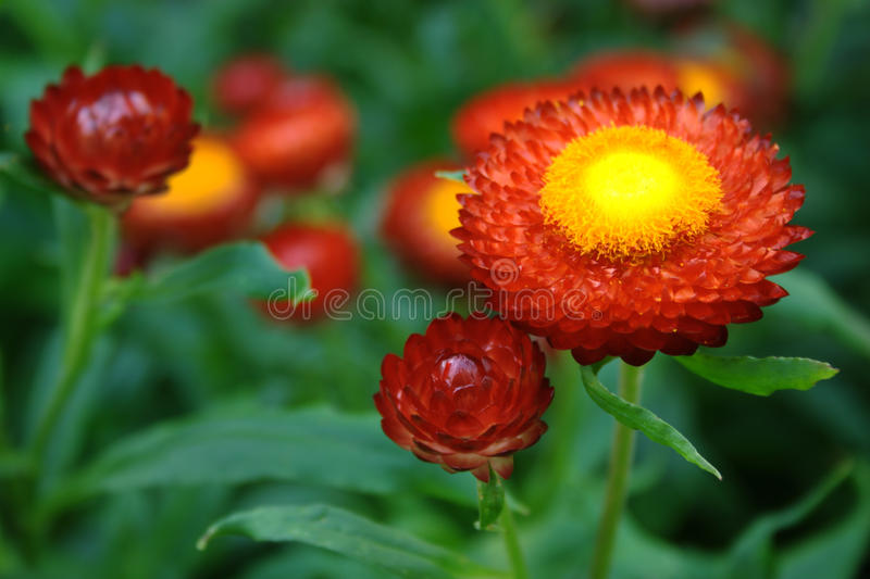 Heitre rote Blumen stockfotos