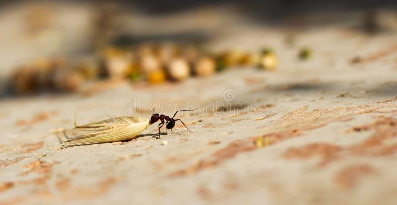 Hej kärnar ur myran som släpar en havre royaltyfri foto