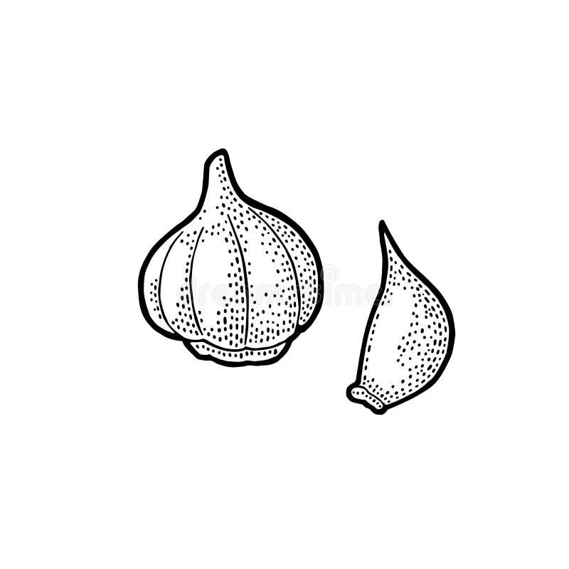 Hel huvud och kryddnejlika för vitlök Svart tappninggravyr för vektor royaltyfri illustrationer
