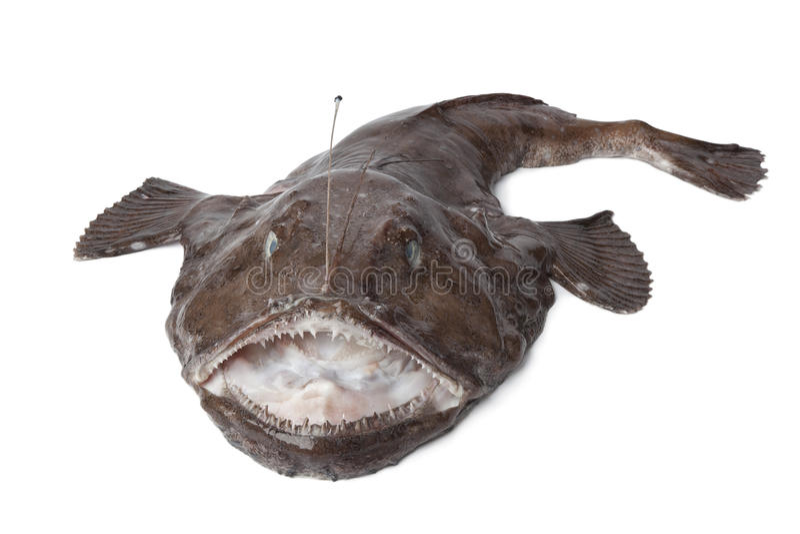hel ny monkfish arkivbild