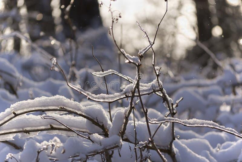 Helada y sol Ramas congeladas en el bosque fotos de archivo libres de regalías
