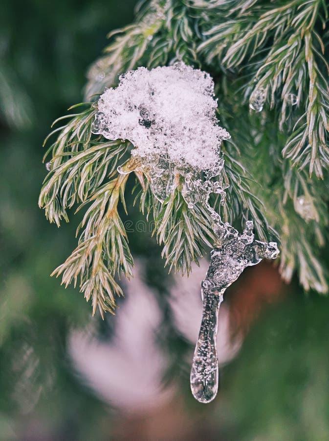 Helder-aangestoken die naaldboomtakjes met sneeuw en ijs worden behandeld stock foto's