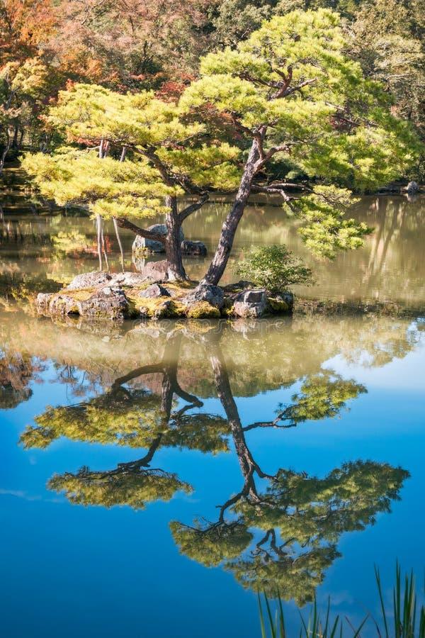 Helder aangestoken tweelingpijnboombomen bij Gouden Paviljoentuin, Kyoto, Japan stock afbeelding