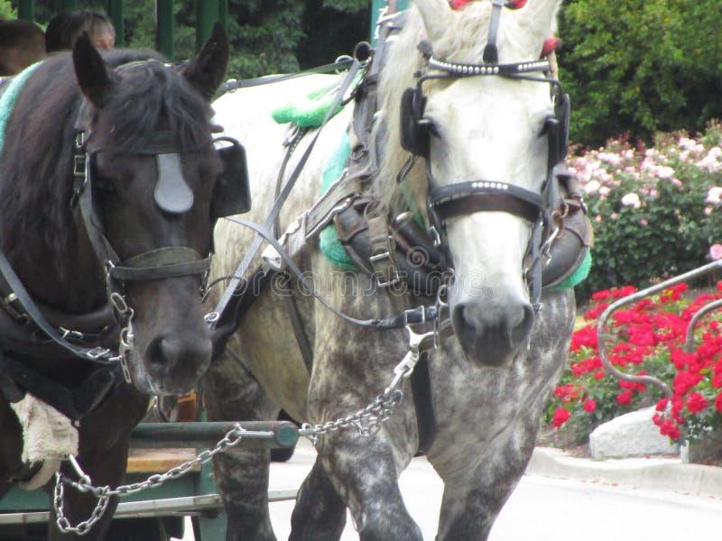 Helder aantrekkelijk charmant paar vervoerpaarden in Stanley Park Rose Garden 2019 stock foto's