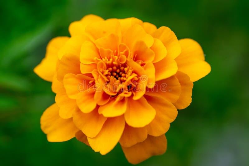 Helder gele goudsbloembloem op een groene achtergrond Macro royalty-vrije stock afbeeldingen