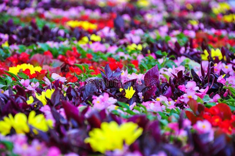 Helder kleurrijk bloembloembed Gele, rode, purpere bloemen op het gazon nastut met groen gras in de tuin royalty-vrije stock foto's