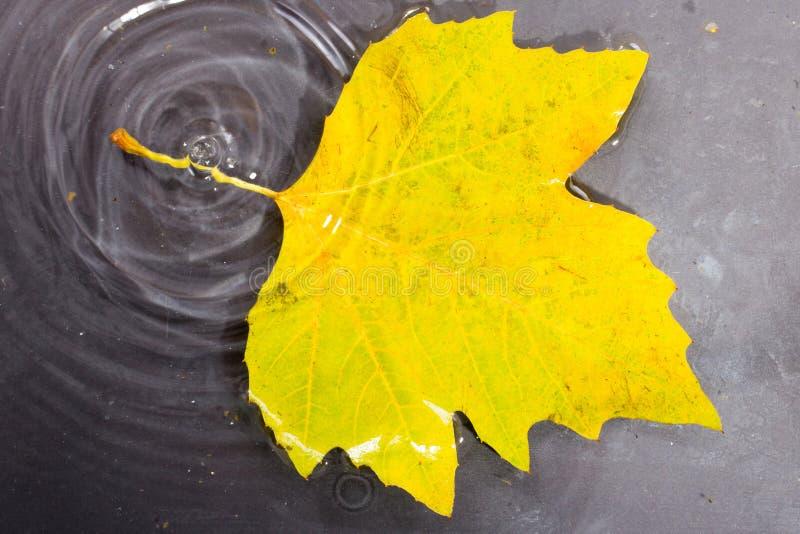 Helder kleurrijk de herfstblad die in water drijven royalty-vrije stock foto