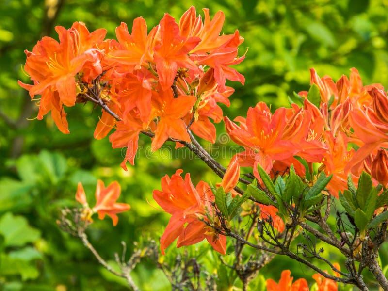 Helder oranje bloemen bloeiende rododendron op een zonnige dag royalty-vrije stock foto's
