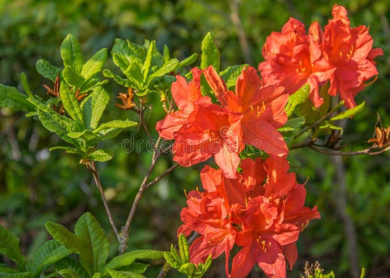 Helder oranje bloemen bloeiende rododendron op een zonnige dag stock foto