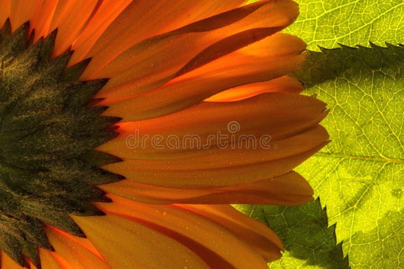 Helder oranje gerbermadeliefje stock foto's