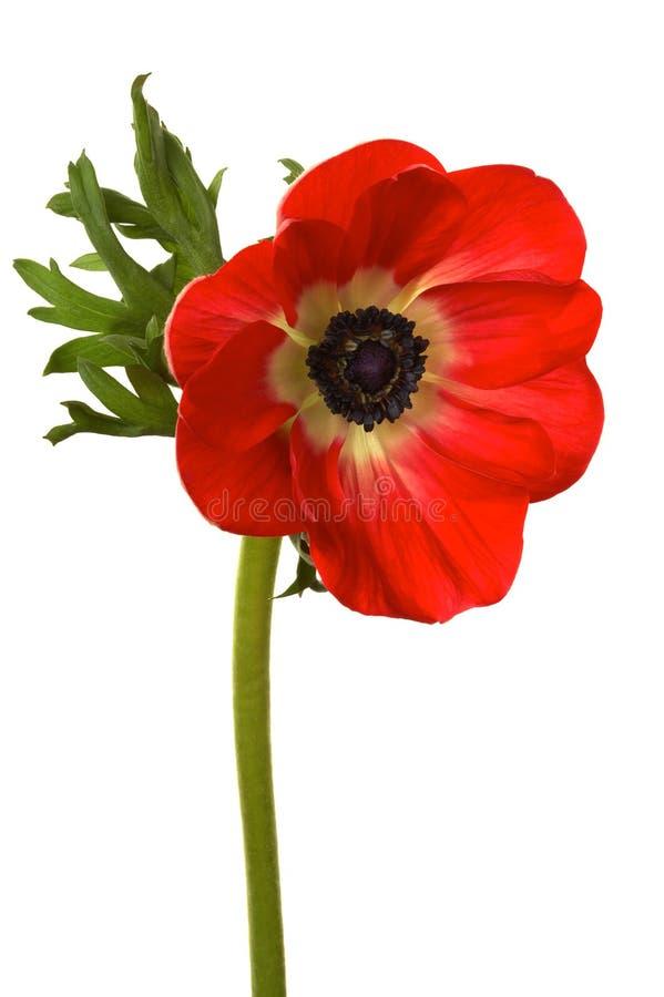 Helder rode bloem royalty-vrije stock fotografie