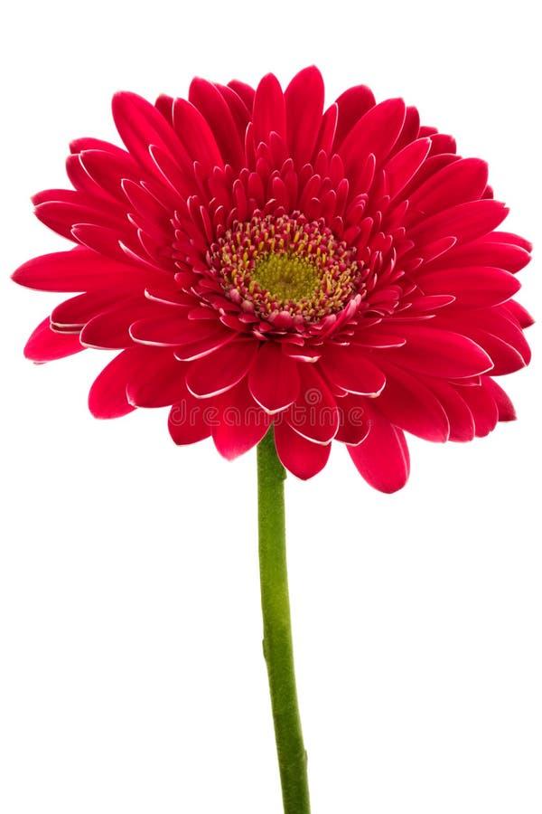 Helder rode bloem stock fotografie