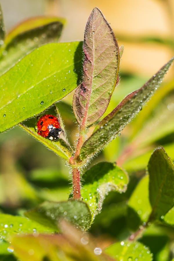 Helder rood en zwart lieveheersbeestje met waterdalingen op de groene bladeren van kamperfoelie na regen in de tuin in de zomer stock afbeelding