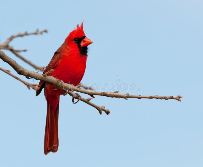 Helder rood Noordelijk Hoofdmannetje in een Eiken boom stock afbeelding