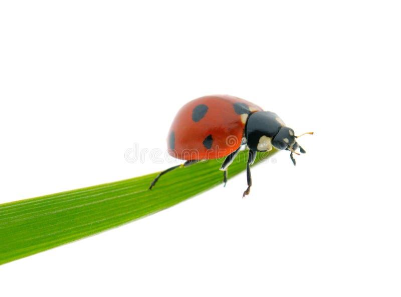 Helder rood onzelieveheersbeestje op groen die blad op wit wordt geïsoleerd stock foto's