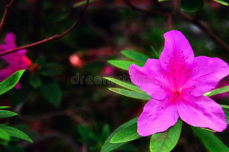 Helder roze bloem van Azalea tegen donkere achtergrond Mooie grote tropische bloem Struikgewasazalea's De ruimte van het exemplaa royalty-vrije stock fotografie