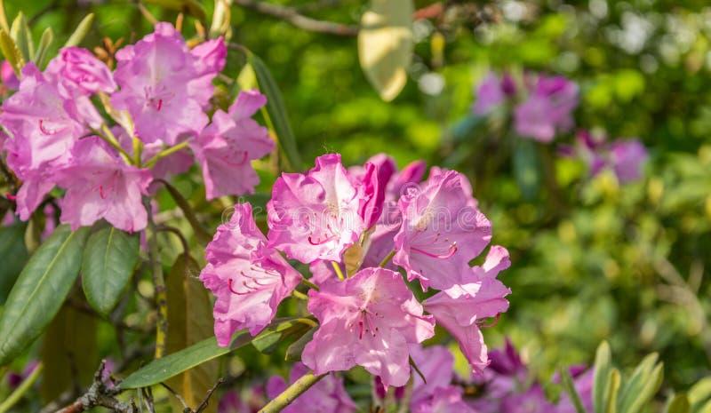 Helder roze bloemen bloeiende rododendron op een zonnige dag royalty-vrije stock afbeelding