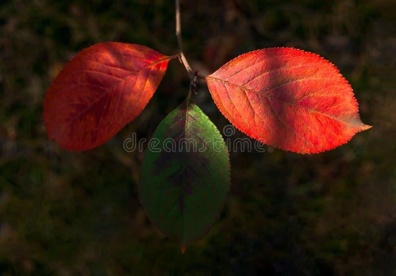 Helder Sunny Highlights On Three Green en Rood, Jacobsvlinderbladeren van Noodsignaalboom Prunus Padus in Forest Autumn Colors, V royalty-vrije stock afbeelding
