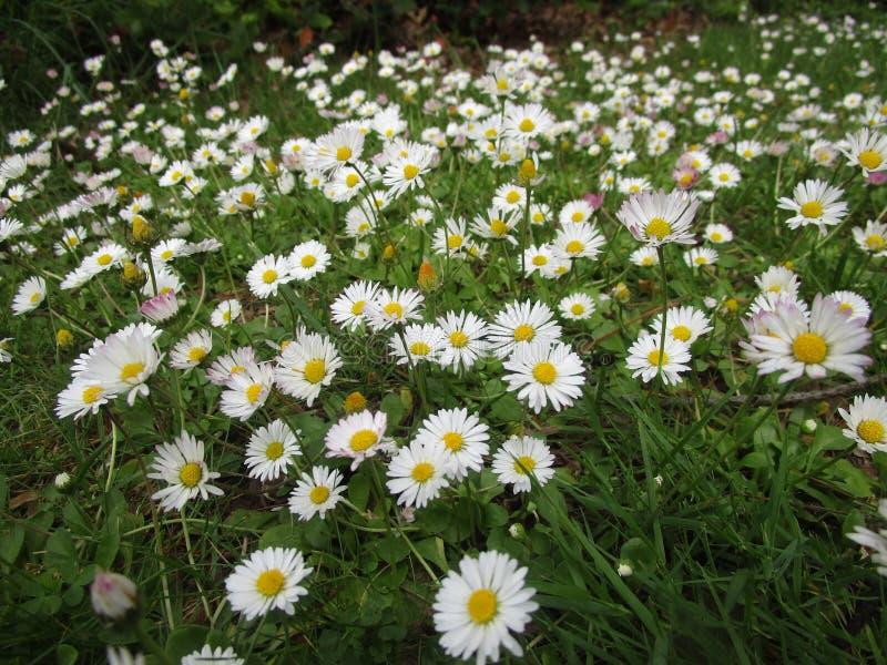 Heldere aantrekkelijke witte Gemeenschappelijke Daisy bloemen die in de lente dicht omhoog bloeien stock afbeelding