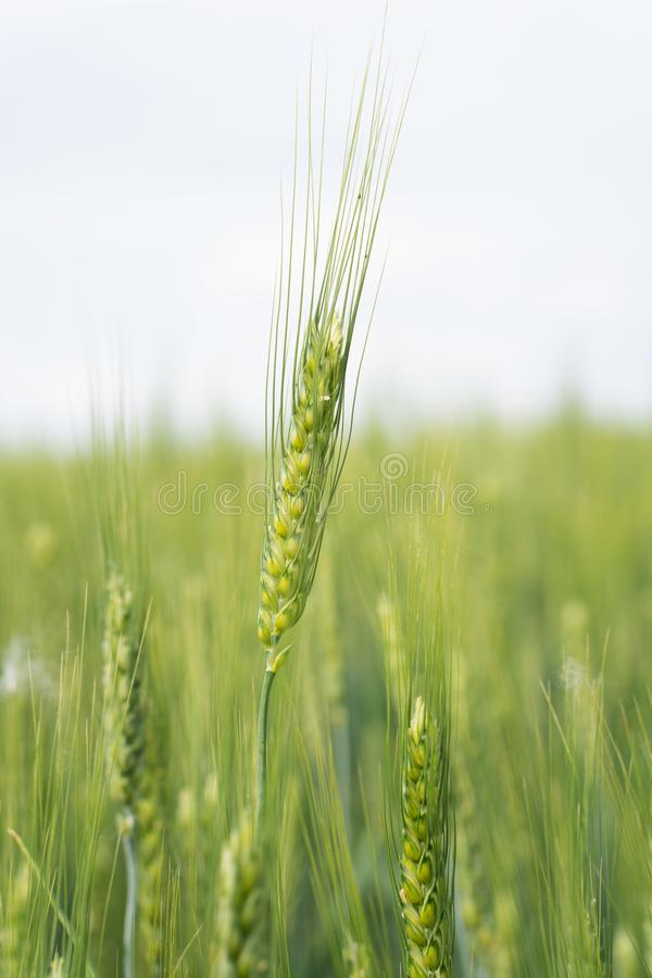 Heldere achtergrond van jonge tarwe Gebied van sappige groene tarwe tegen de achtergrond van een heldere hemel Toekomstig brood royalty-vrije stock foto's